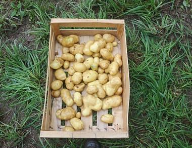 Fin de la récolte des pommes de terre