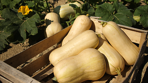 Courge Butternut