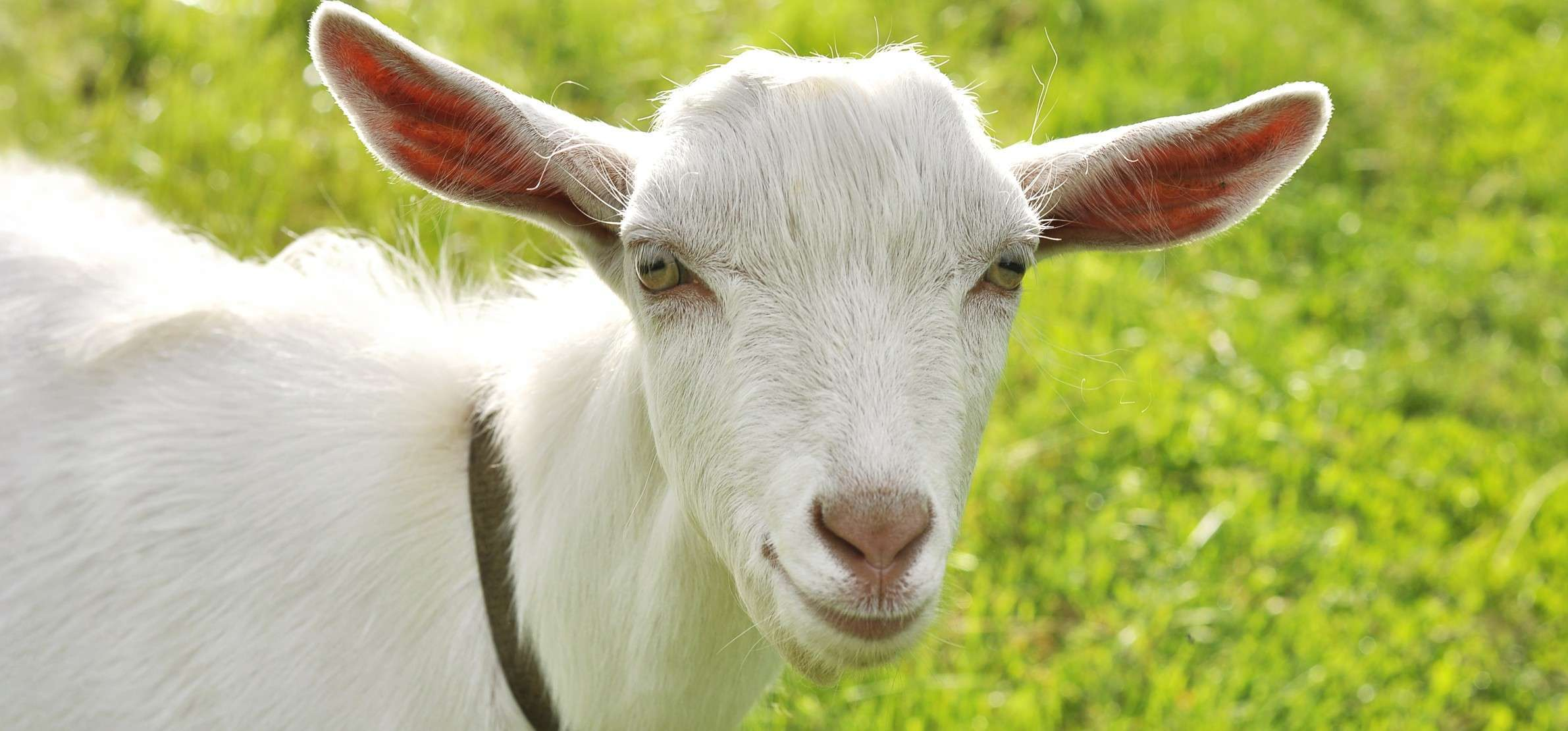 Have you thought about infant milk made from goat milk?
